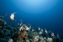 Ocean and schooling bannerfish Stock Image