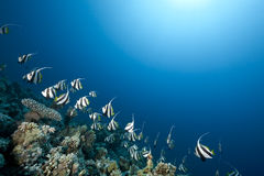 Ocean and schooling bannerfish Royalty Free Stock Photography