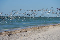 Ocean sea panorama mexico with gulls and sea birds Royalty Free Stock Images