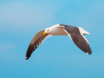 Ocean seagull in flight  on blue sky background Royalty Free Stock Photos