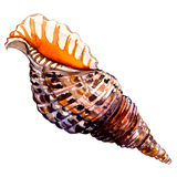 Ocean seashell in close-up isolated on white. Background vector illustration