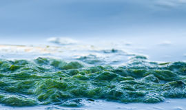 Ocean seaweed Stock Photography