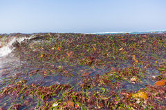 Ocean Seaweed Marine Plants Shoreline Royalty Free Stock Photo
