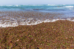 Ocean Seaweed Marine Plants Shoreline Stock Photography
