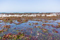 Ocean Seaweed Marine Plants Shoreline. Beach ocean shoreline covered with marine seaweed plants stripped off reefs from waves natures power Royalty Free Stock Photos
