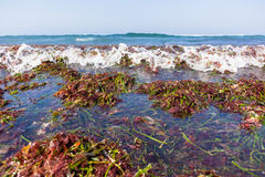 Ocean Seaweed Marine Plants Shoreline. Beach ocean shoreline covered with marine seaweed plants stripped off reefs from waves natures power Stock Photography