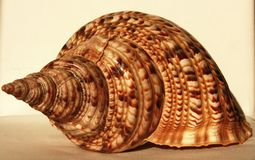 Ocean shell called Trumpet Triton Stock Image
