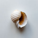 Ocean shell. Large ocean shell on white table with copy space. Top view Stock Image