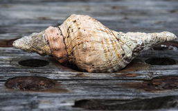 Ocean shell on the old board Royalty Free Stock Image