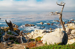 Ocean shore with rocks and trees. Carmel, CA. Stock Images