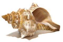 Ocean spiral shell  on white Royalty Free Stock Image
