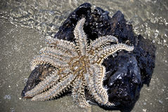 Ocean starfish Royalty Free Stock Photos