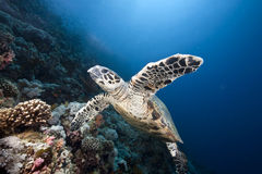 Ocean, Sun And Hawksbill Turtle Royalty Free Stock Image