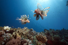 Ocean, Sun And Lionfish Stock Photo