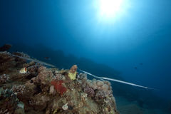 Ocean, sun and cornetfish. Taken in the red sea royalty free stock images
