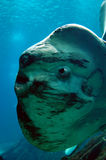 Ocean Sun fish. Mola Mola, heaviest bony fish in the world Royalty Free Stock Images