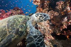 Ocean, sun and hawksbill turtle Stock Photography