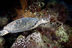 Ocean, sun and hawksbill turtle Royalty Free Stock Photos