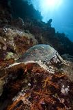 Ocean, sun and hawksbill turtle Royalty Free Stock Photography