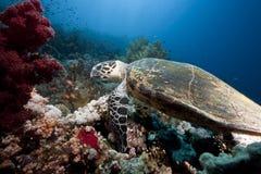 Ocean, sun and hawksbill turtle Stock Image