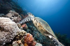 Ocean, sun and hawksbill turtle Stock Image