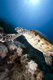 Ocean, sun and hawksbill turtle Royalty Free Stock Images