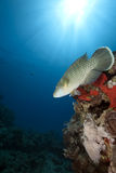 Ocean, sun and napoleon wrasse Stock Photo