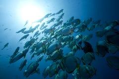 Ocean, sun and orbicular spadefish Stock Photography