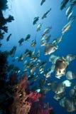 Ocean, sun and orbicular spadefish Royalty Free Stock Photo