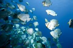 Ocean, sun and orbicular spadefish Stock Photo