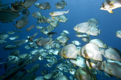 Ocean, sun and orbicular spadefish Stock Images
