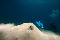 Ocean, sun and porcupine ray Stock Image