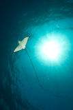 Ocean, sun and spotted eagle ray Royalty Free Stock Image