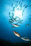 Ocean, sun and twinspot snappers Royalty Free Stock Image