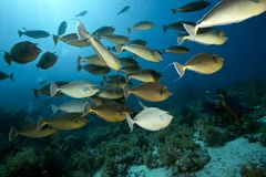 Ocean, sun and unicornfish Stock Image