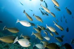 Ocean, sun and unicornfish Royalty Free Stock Photo