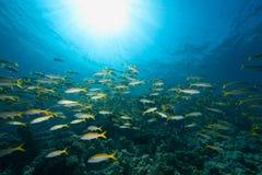 Ocean, sun and yellowfin goatfish Stock Images