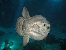 Ocean sunfish royalty free stock photo