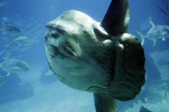 Ocean sunfish Stock Images