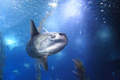 Ocean sunfish Stock Image