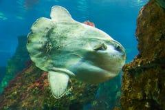 Ocean sunfish or bony Fish - Aquarium Barcelona. Fish in L`Aquarium de Barcelona or Aquarium of Barcelona - Spain royalty free stock photos