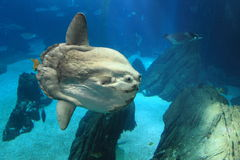Ocean sunfish. Floating in water Royalty Free Stock Image