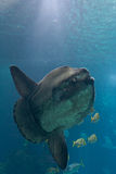 Ocean sunfish (Mola mola). In Lisbon Oceanarium royalty free stock photos