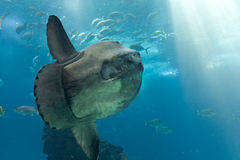 Ocean sunfish (Mola mola). In Lisbon Oceanarium stock photo