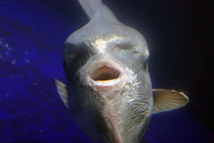 Ocean sunfish (Mola mola) Royalty Free Stock Photo