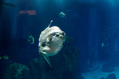 Ocean sunfish (Mola mola) Stock Images