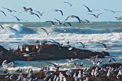 Ocean surf and seagulls. Norther California Royalty Free Stock Image