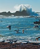 Ocean surf and seagulls. Norther California royalty free stock photography