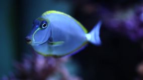 Ocean surgeon Acanthurus bahianus underwater in the aquarium. Ocean surgeon Acanthurus bahianus underwater in aquarium stock video