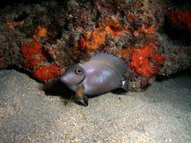 Ocean Surgeonfish. This ocean surgeonfish was taken at night in 45 feet of water Stock Photo